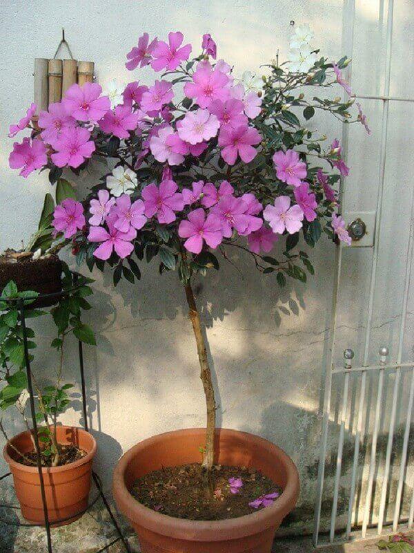 Manacá: uma das plantas ornamentais mais comercializadas no Brasil