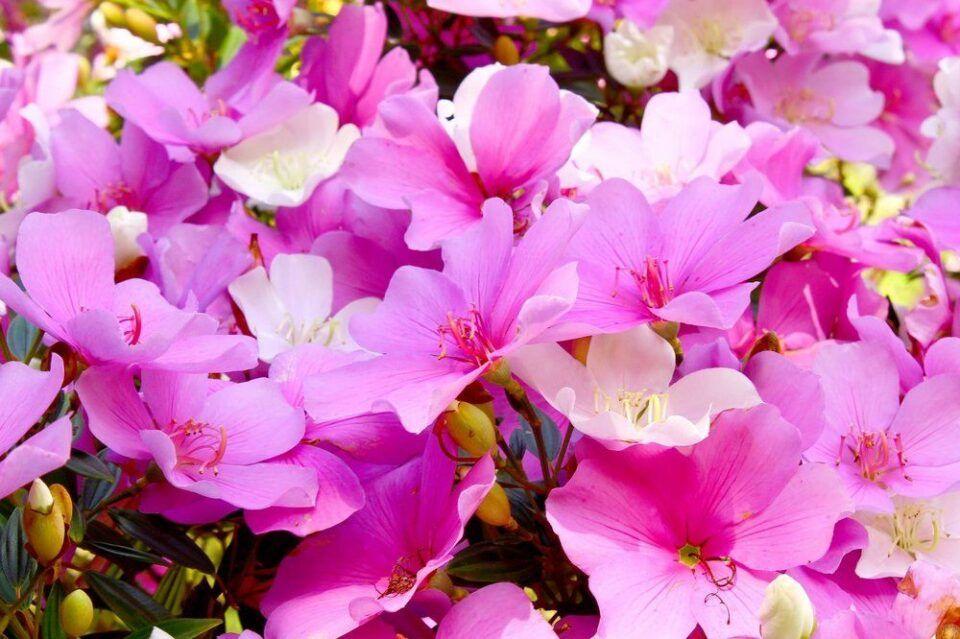 Manacá – Característica da planta, como fazer mudar e principais cuidados
