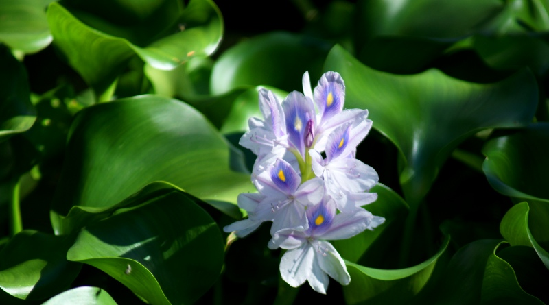 Plantas aquáticas: espécies que sobrevivem cultivadas na água