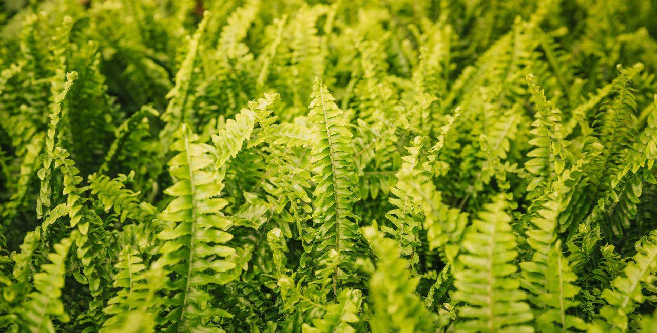 Plantas pendentes: espécies ideais para decoração suspensa