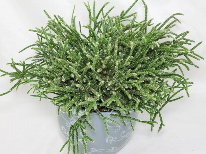 Rhipsalis: uma planta da mesma família dos cactos