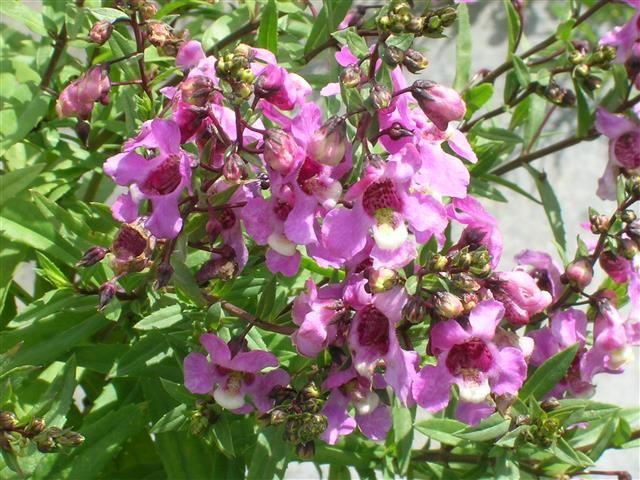 Angelônia: uma opção de flor não tão convencional para o jardim
