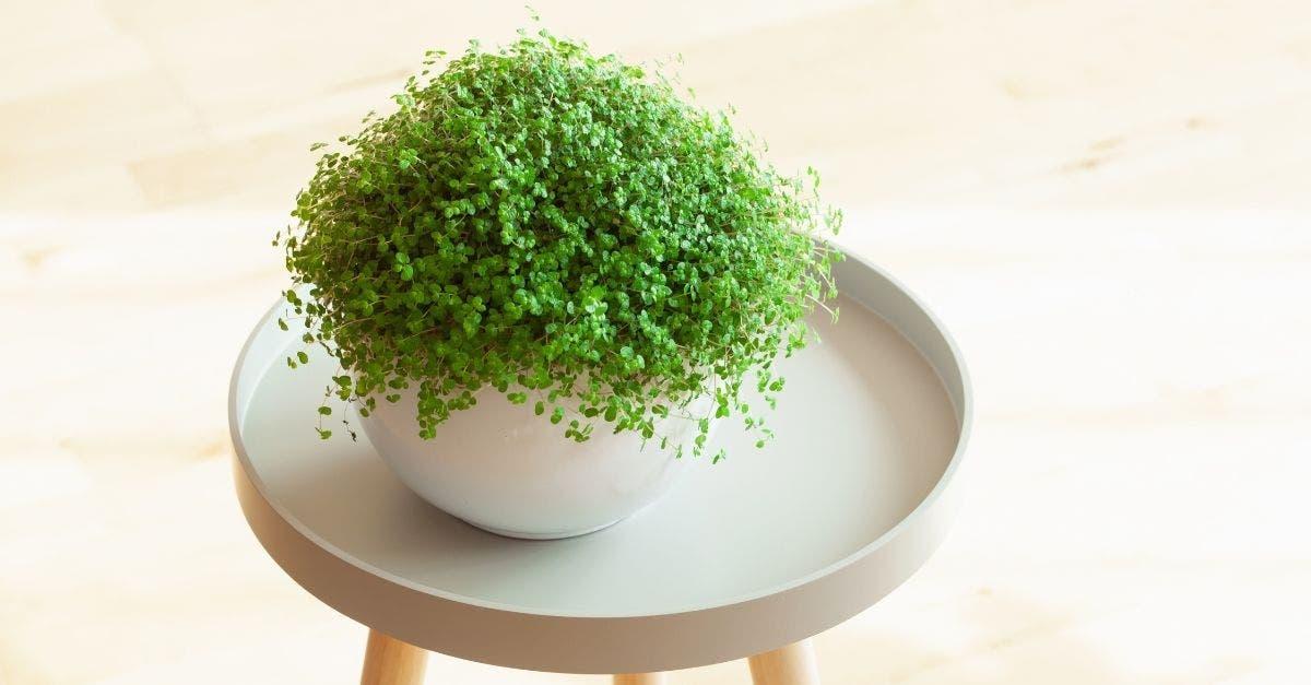 Barba de Moisés: uma planta para ser cultivada em vasos ou forração
