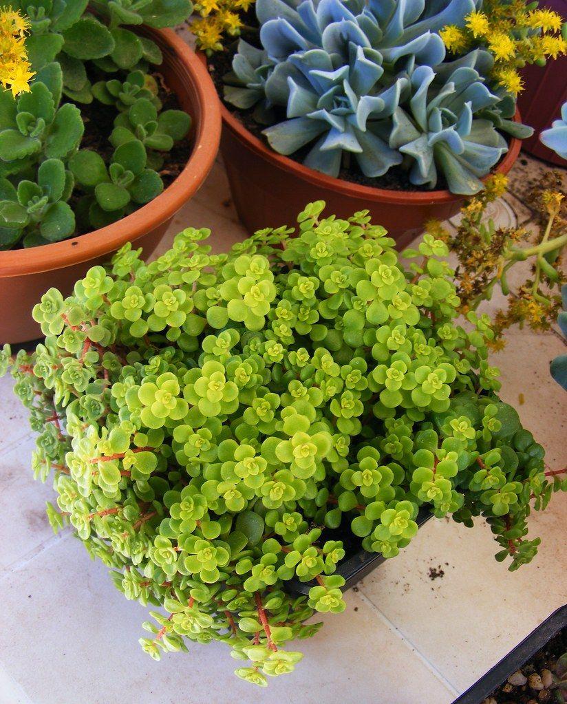 Brilhantina: planta típica da América, ideal para decoração