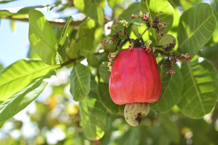 Como plantar caju: dicas para ter um cajueiro em casa