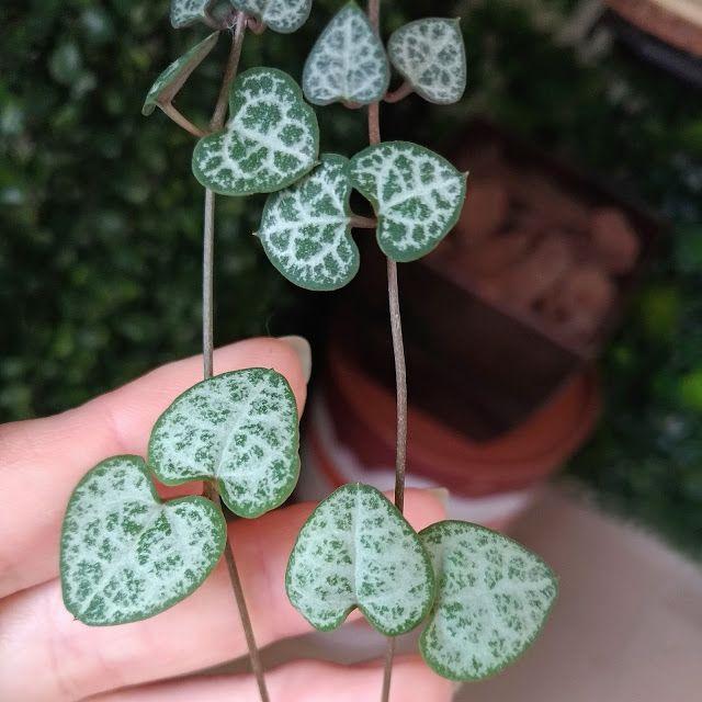 Corações-emaranhados: uma planta muito fofa para a decoração