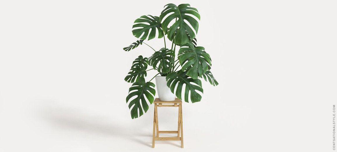 Costela de Adão: a queridinha dos apaixonados por plantas
