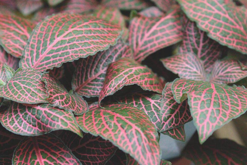 Fitônia – Características da planta e principais cuidados ao cultivar