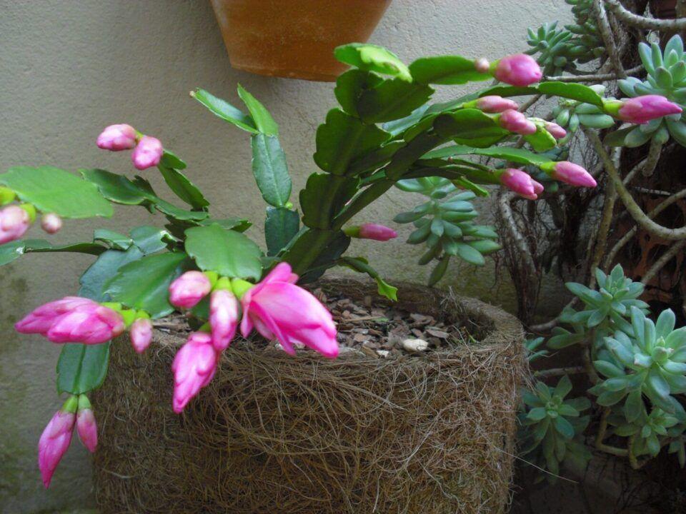 Flor-de-maio - Como plantar, características e principais cuidados