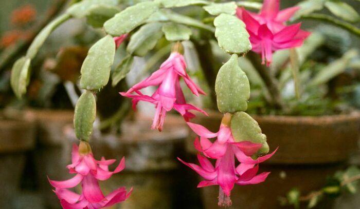 Flor de Maio: o manual completo para cultivá-las em casa!