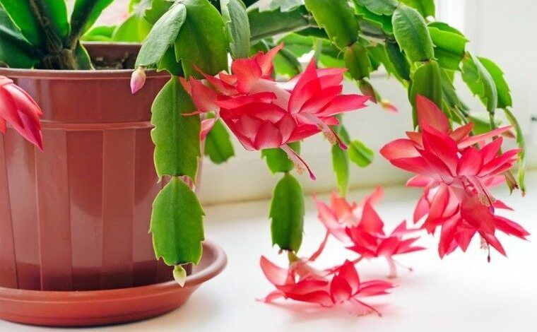 Flor-de-maio – Como plantar, características e principais cuidados