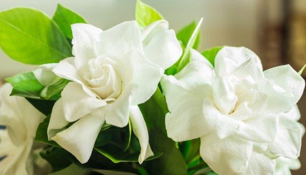 Gardênia: uma flor colorida e fácil de ser cultivada em vasos e jardins
