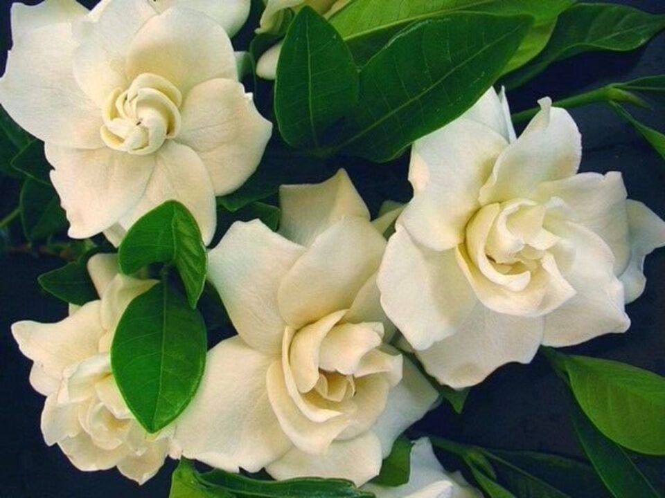 Gardênia – Características da flor, como plantar e principais cuidados