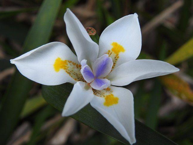 Moreia: uma planta com flores brancas delicadas e folhas em lanças