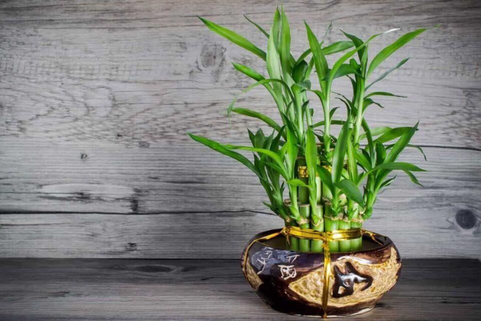 Bambu da sorte: como cuidar e curiosidades sobre a espécie