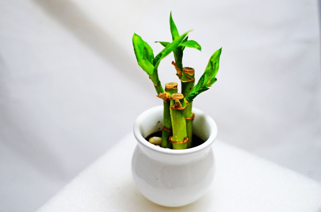 Bambu da sorte: uma planta que traz prosperidade para o lar