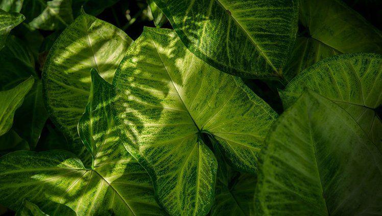 Comigo-ninguém-pode: cultivando a espécie com cuidado