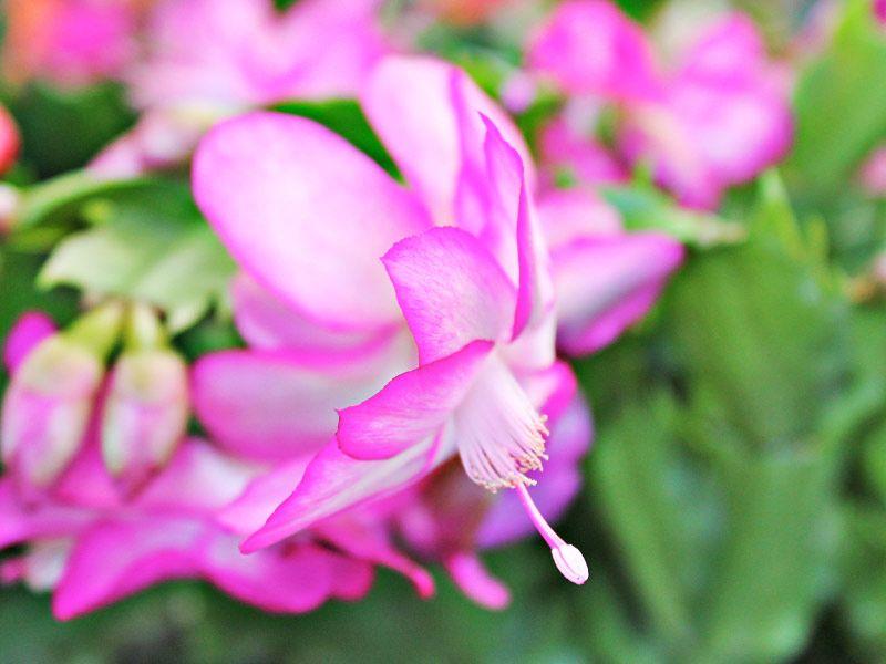 Como plantar flor-de-maio: forma de fazer o plantio usando mudas