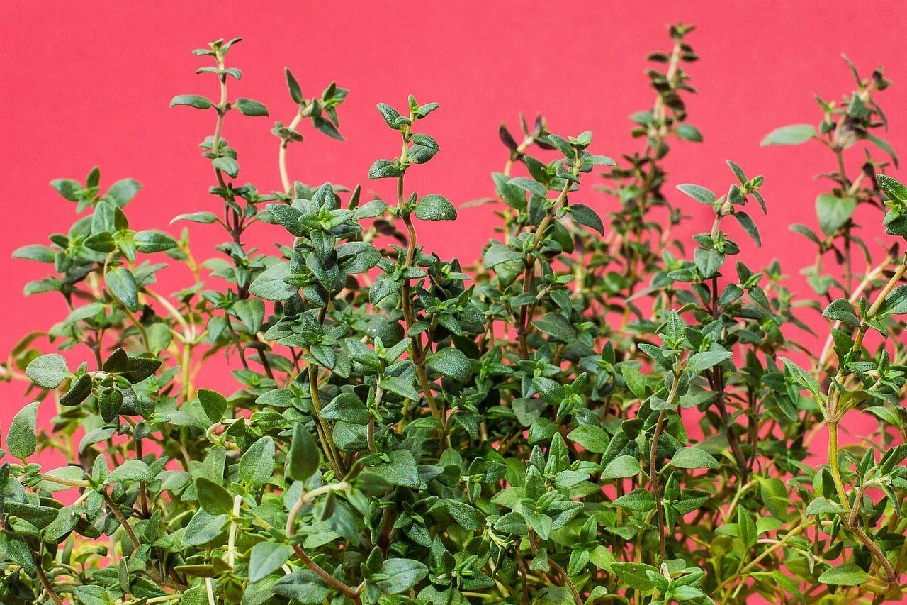Como plantar tomilho: um tipo de tempero fácil de ser cultivado