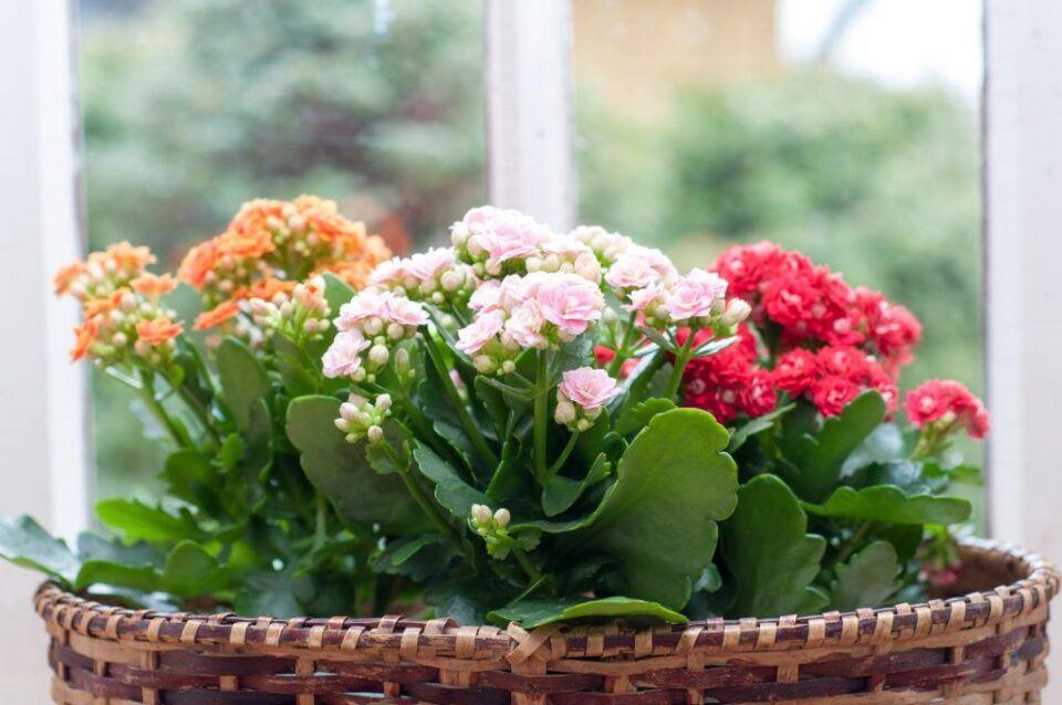 Flor da fortuna: os significados dessa flor e os cuidados ao cultivá-la