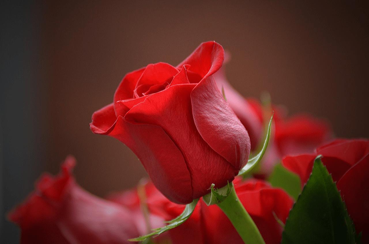 Flores românticas: opções para presentear ou ter em casa em arranjos