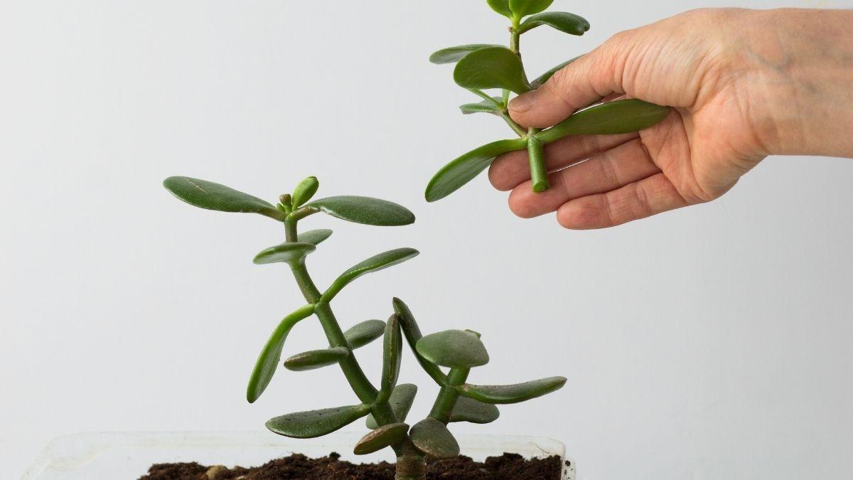 Planta jade: um tipo de suculenta ótimo para a decoração dos ambientes