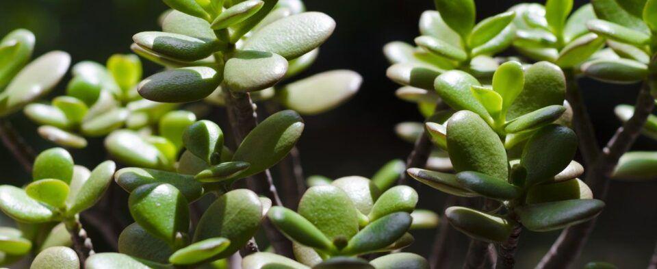 Planta jade: características da planta e como cultivar