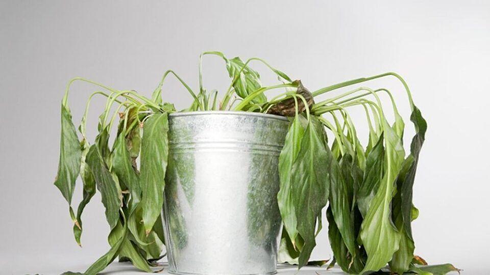 Planta murchando – O que fazer e como cuidar de plantas nesse estado