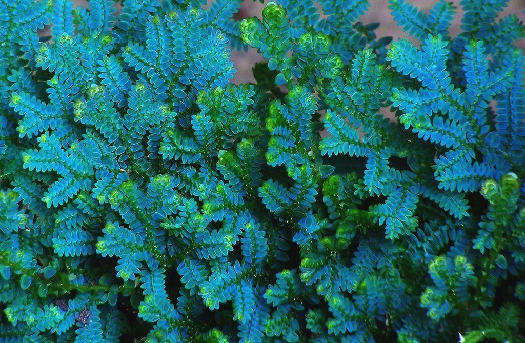 Samambaia azul: um tipo de samambaia colorida ótima para decorar