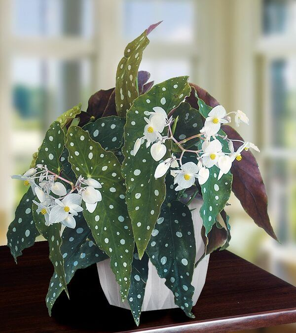 Tipos de begônias: algumas espécies para a decoração dos ambientes