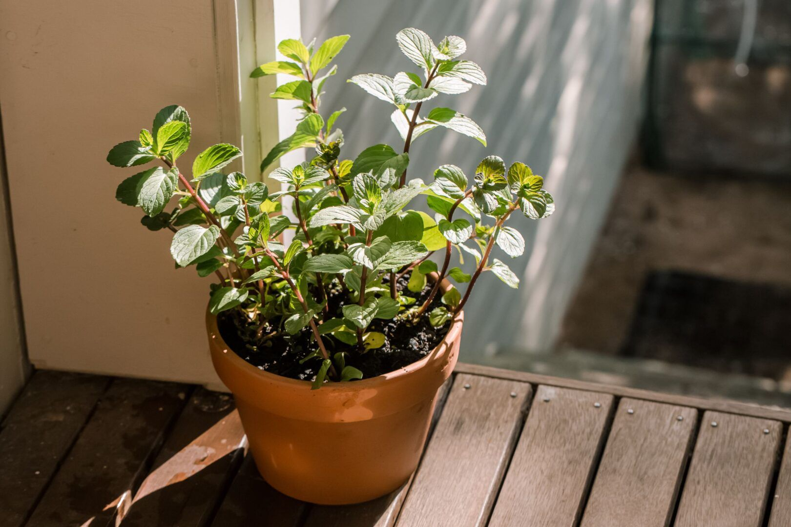 Como plantar hortelã: o cultivo da erva aromática e medicinal