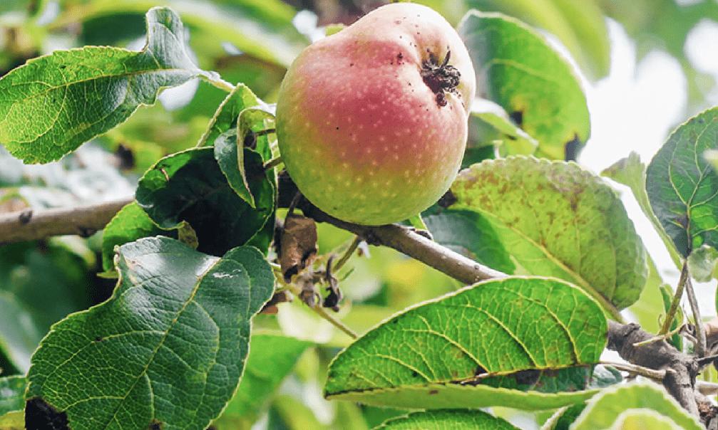 Como plantar maçã: passo a passo e cuidados com as pragas
