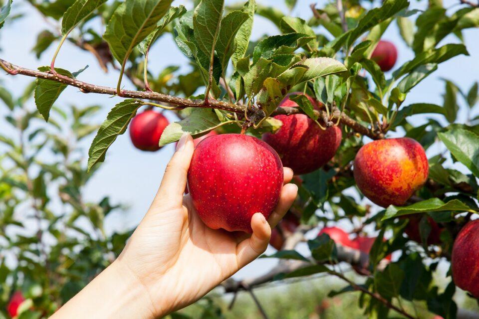 Como plantar maçã: passo a passo, cuidados e as pragas