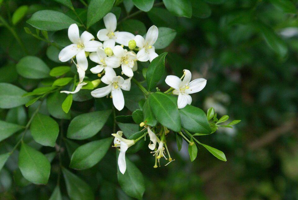 Murta: uma das flores com perfume mais adocicado da natureza
