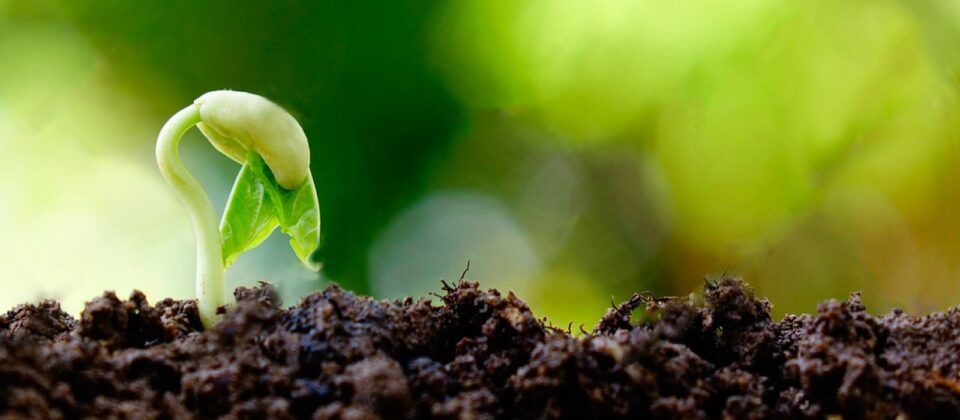 O que é germinação? Etapas de desenvolvimento das sementes