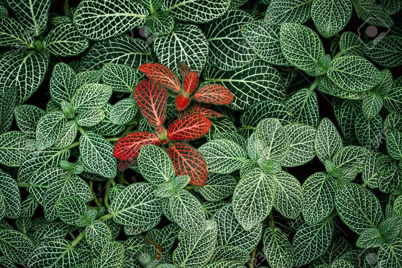 Tipos de fitônia: algumas variações dessa espécie de planta